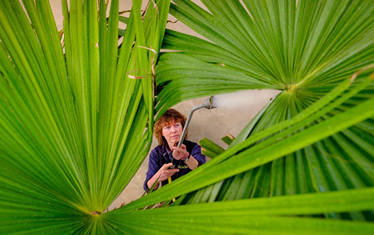 A horticulturalist waters the Suicide palm, the leaves of which fills the frame