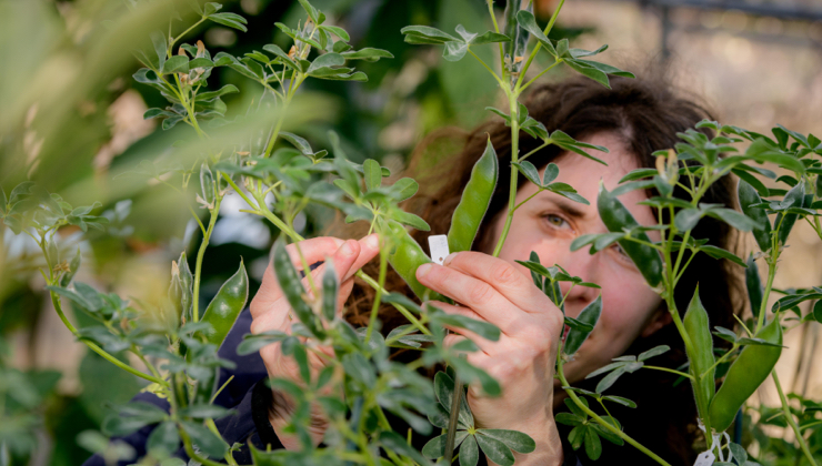 A horticulturalist checks to see if Lupinus albus has ripened